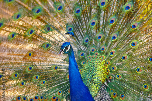 Fotobehang Pauw Peacock with colorful spread feathers. Animal background