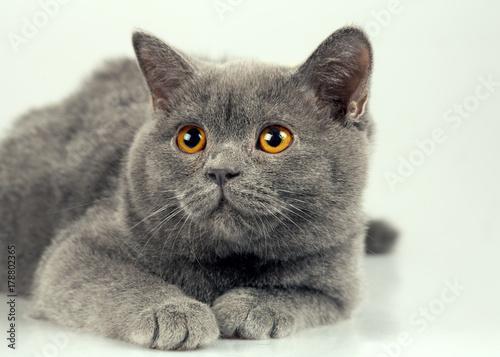 Fototapeta Studio portrait of blue British shorthair cat