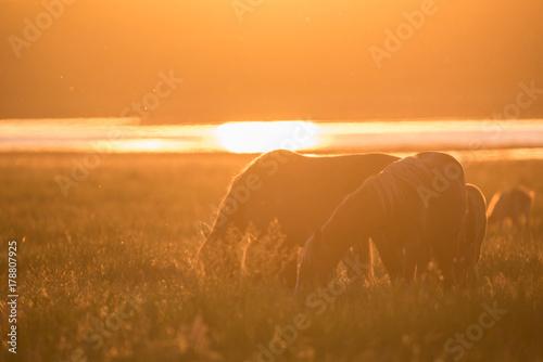 Wild horses grazing on summer meadow at sunset Plakát