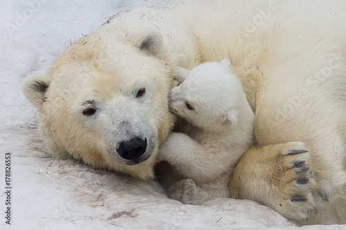 Canvas Ijsbeer Polar bear with cub