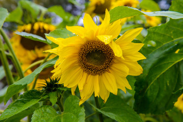 Sunflower flower in field. Lovely big Sunny flowers close. Young sunflowers seeds.
