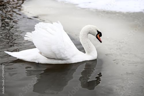 Fotobehang Zwaan White Swan on the lake in winter.