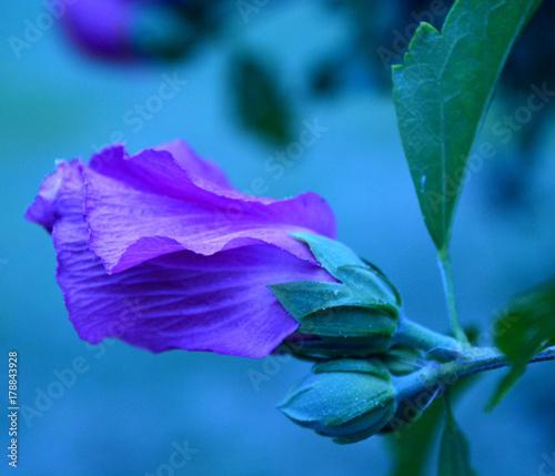 Fotobehang Iris Rose Of Sharon
