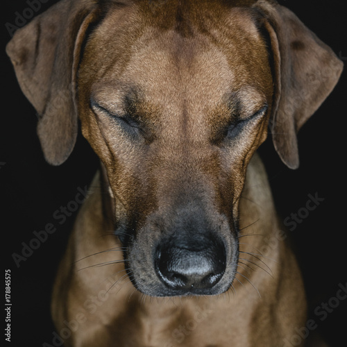 Ridgeback dog in studio Poster