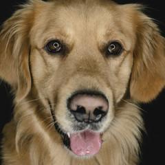 Golden retriever dog in studio