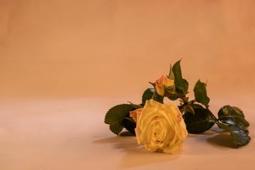 Stillleben Rose Rosenblüten