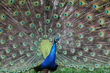 Peacock. Beautiful peacock bird display