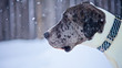 Great Dane Dog Outside in Winter Snow Storm