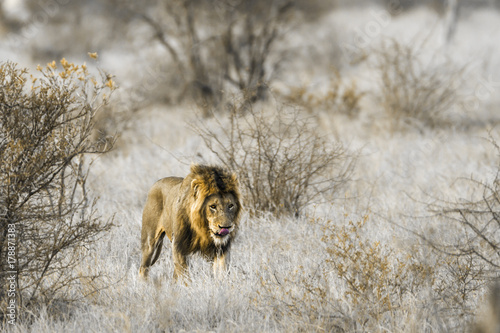 African lion in Kruger National park, South Africa Poster