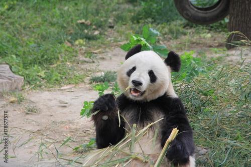 Panda eating bamboo branch Poster