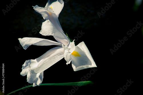 Fotobehang Iris Iris in Spring time