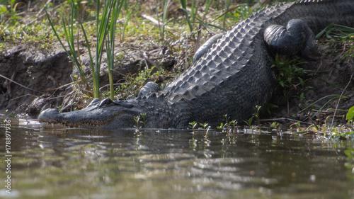 Foto op Plexiglas Krokodil Alligator entering water
