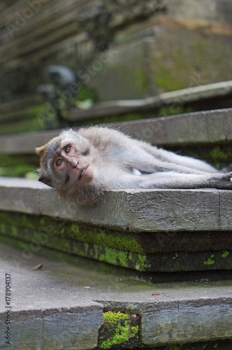 Aluminium Aap A macaque monkey laying on the steps of a temple in Bali.