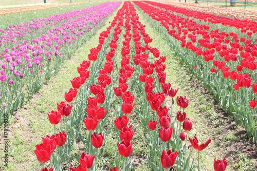 Fotobehang Tulpen Multi colored Tulip garden