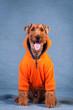 Welsh terrier at studio