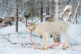 Reindeer in winter, Lapland, Finland - 178928353