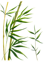 green bamboo branches watercolor on white background