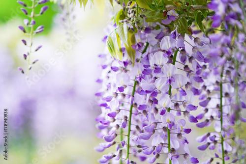 Fotobehang Purper 藤の花