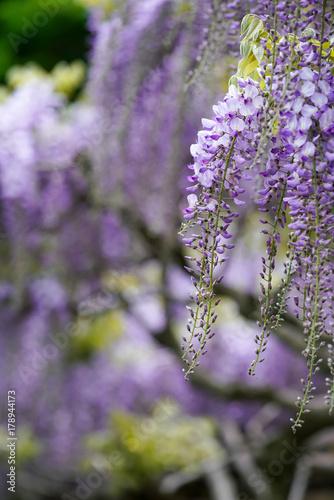 Papiers peints Lavende 藤の花
