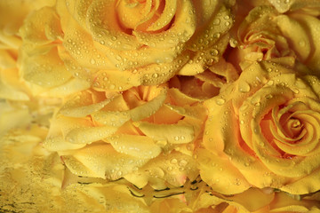 Flowers of yellow beautiful roses, many petals in droplets of water, reflection on a mirror surface.