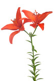 fine red lily flower with two blooms