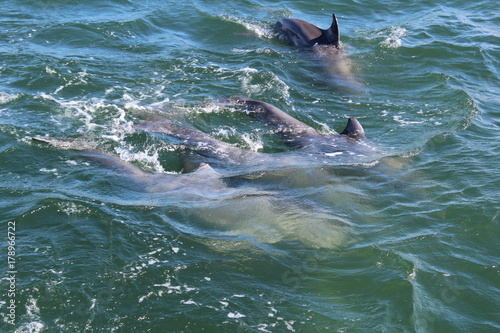 Obraz Dolphins in Ocean Port Aransas Texas 2