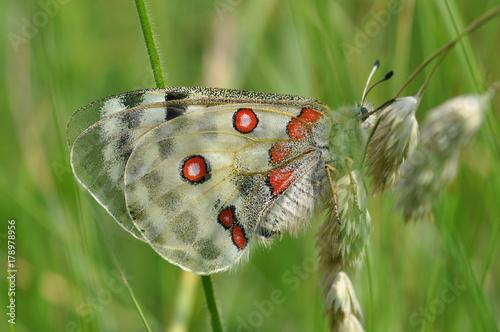 Fotobehang Vlinder Schmetterling Apollo