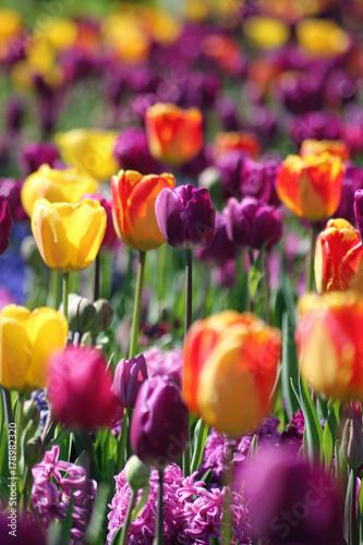 Fotobehang Tulpen Holländische Tulpen