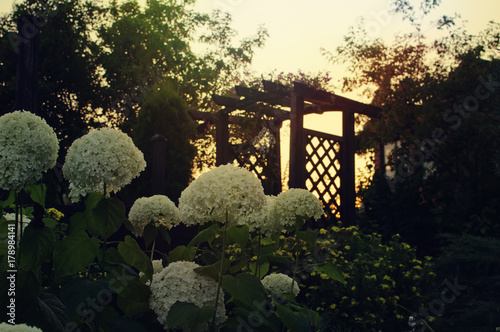 Fotobehang Hydrangea Hydrangea in the garden on a background sunset