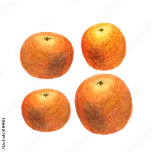Botanical watercolor illustration sketch of orange on white background - 178999352