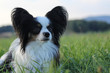 Papillon dog on a green field