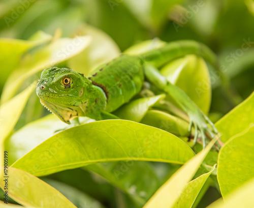 Fotobehang Kikker Baby Green Iguana On Green Leaves
