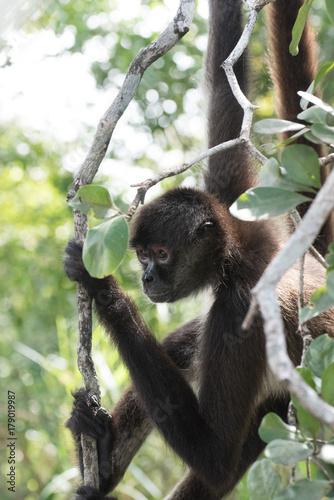 Aluminium Aap Spider Monkey