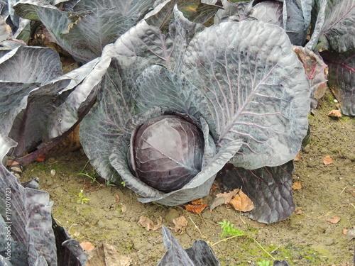 Fotobehang Schildpad Rotkohl auf dem Feld