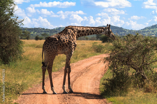 Portrait of big giraffe near a tree. Serengeti, Tanzania Poster