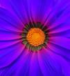 Gerbera flower macro - blue