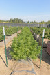 Medical Cannabis crop almost ready for harvesting on a legal grow farm in Washington state