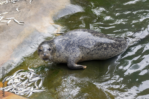 Harbor seal during feeding Poster