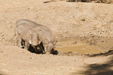 Young African Warthog (phacochoerus africanus