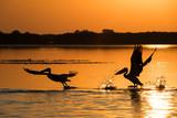 Pelicans at sunrise in Danube Delta - 179143716