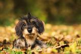 Dackelwelpe im Herbst