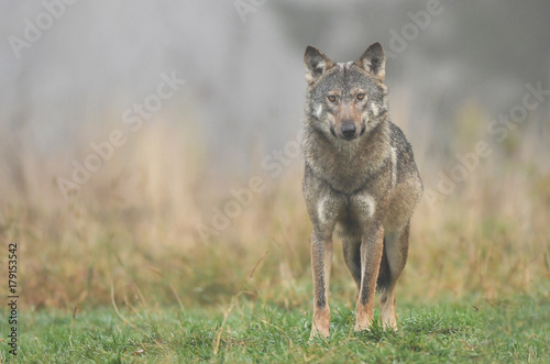 Fotobehang Wolf Gray wolf (Canis lupus)