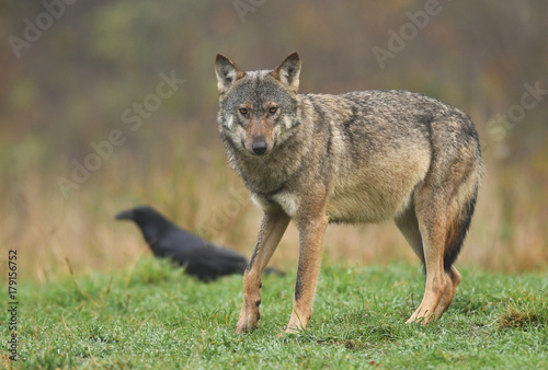 Gray wolf (Canis lupus) Poster