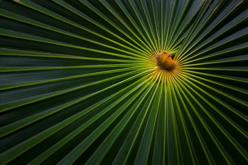 Detail of tropical Palm leaf