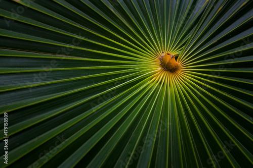 Detail of tropical Palm leaf