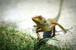 Small Lizard of Vietnam