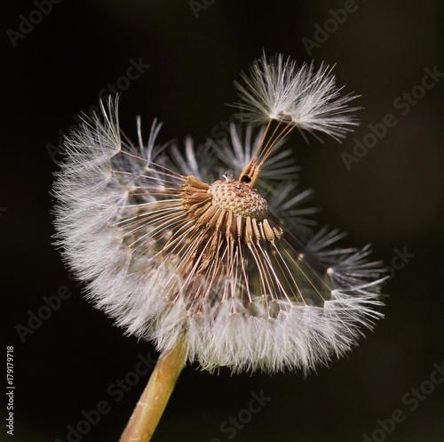 Fotobehang Paardebloemen Dandelion