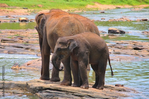 Elephants in the river in Sri Lanka Poster
