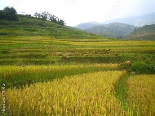 Foto op Plexiglas Rijstvelden Rizière en terrasses en automne dans les montagnes au Nord du Vietnam