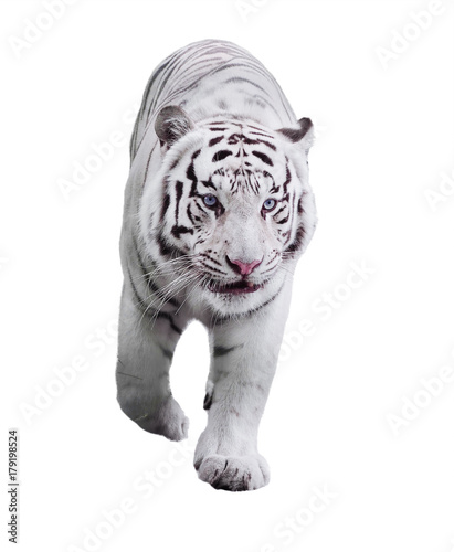 Aluminium Tijger White big tiger Panthera tigris bengalensis walking isolated at white